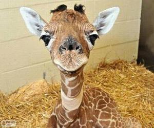 Puzle Girafa bebê