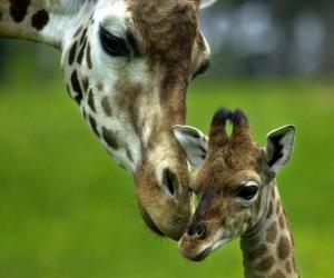 Puzle girafa com seu bebê