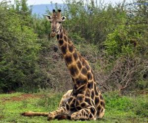Puzle Girafa descansando