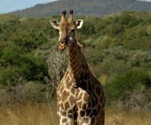 Puzle Girafa Linda