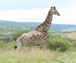 Puzle Girafa olhando a paisagem
