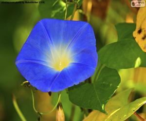 Puzle Glória da Manhã azul