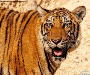 Puzle Grande tigre
