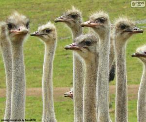 Puzle Grupo de avestruzes
