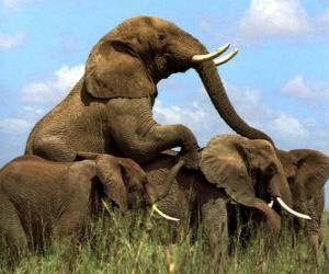 Puzle Grupo de elefantes, grandes dentes