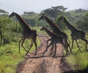 Puzle grupo de girafas atravessando uma estrada