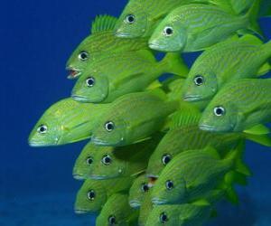 Puzle Grupo de peixes verde