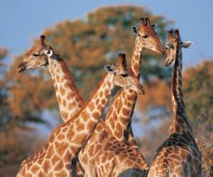 Puzle Grupo de quatro girafa