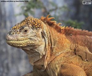 Puzle Iguana-terrestre-das-galápagos