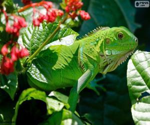 Puzle Iguana-verde