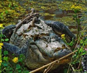 Puzle Jacaré americana, um dos maiores crocodilos nas Américas, uma espécie protegida em os EUA