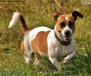 Puzle Jack Russell Terrier