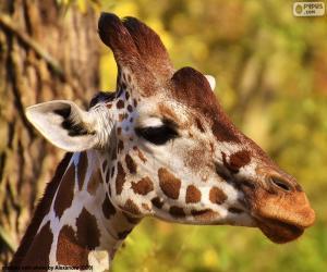 Puzle Jovem girafa