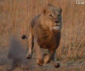 Puzle Leão perseguir sua presa