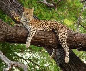 Puzle Leopardo descansando