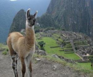 Puzle Lhama, o animal mais conhecido do antigo Império Inca