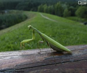 Puzle Louva-a-deus verde