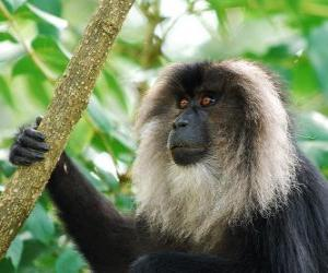 Puzle Macaco de cauda Leão