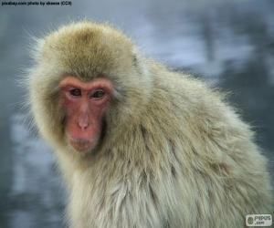 Puzle Macaco-japonês