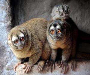 Puzle macacos da coruja