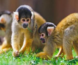 Puzle Macacos-esquilo