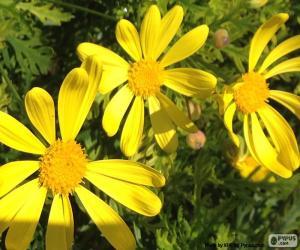 Puzle Margaridas amarelas