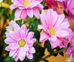 Puzle Margaridas rosa