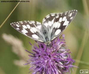 Puzle Melanargia galathea borboleta