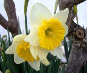 Puzle Narciso