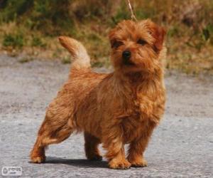 Puzle Norwich Terrier