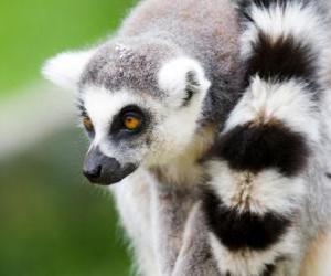 Puzle O lémur-de-cauda-anelada