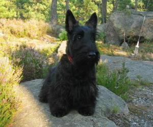Puzle O Terrier escocês, é um terrier pequeno mas resistente