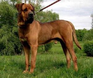Puzle O Tosa é uma raça japonesa que foi originalmente utilizada para briga, sendo atualmente usada para cão de guarda