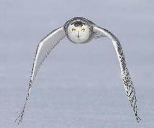 Puzle o vôo da coruja