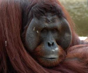 Puzle Orangotango de Bornéu