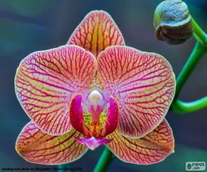 Puzle Orquídea Phalaenopsis