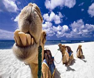 Puzle Os camelos dos Reis Magos descanso em seu caminho até Belém