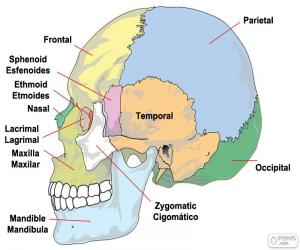 Puzle Os ossos do crânio humano
