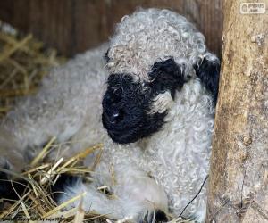 Puzle Ovelhas de nariz preto