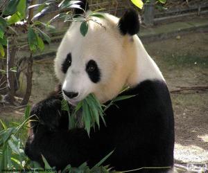 Puzle Panda-gigante