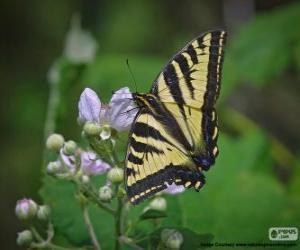 Puzle Papilio glaucus, borboleta nativa do leste da América do Norte