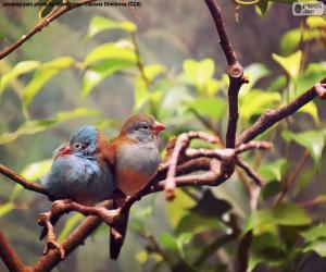 Puzle Par de pássaros