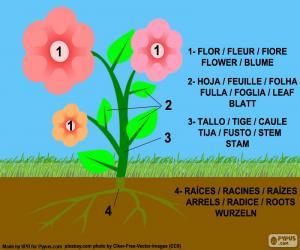Puzle Partes de uma planta