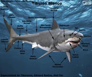 Puzle Partes do tubarão branco
