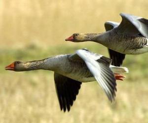 Puzle Patos voando