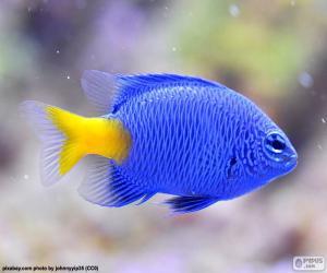 Puzle Peixe-palhaço azul