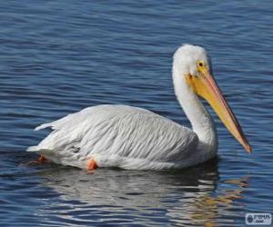 Puzle Pelicano branco americano
