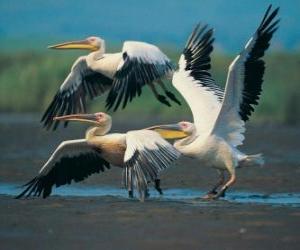 Puzle Pelicano