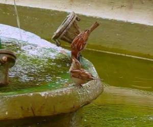 Puzle Pequenos pássaros espirrando em uma fonte