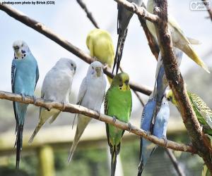 Puzle Periquito-comum
